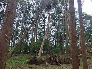風倒木(千葉県森林研究所)