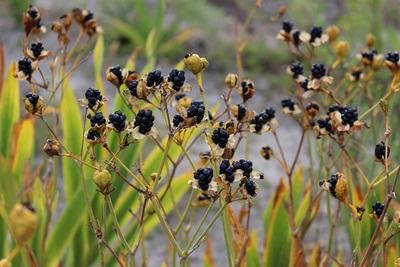 ee02f08a3ecef 夏に花を楽しませてくれたヒオウギは、今では蒴果がはじけて中から球形の黒い種子をのぞかせています。
