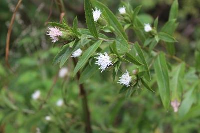 3b8aafda3bedc 裏山と畑に植えたオケラ(キク科の多年草)の花が咲いています。万葉歌では、うけら(原文は宇家良と表記)として巻十四の東歌に三首詠まれています。